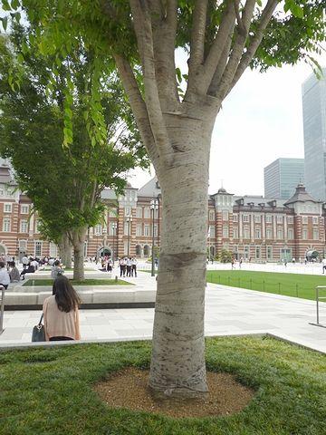 移植された大木
