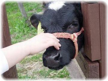 牛の子を撫でるとどうなるか?、だな