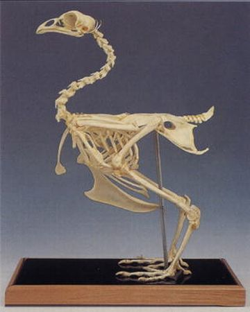 ニワトリの骨格