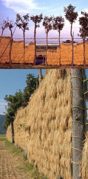 稲が掛けられた稲架木