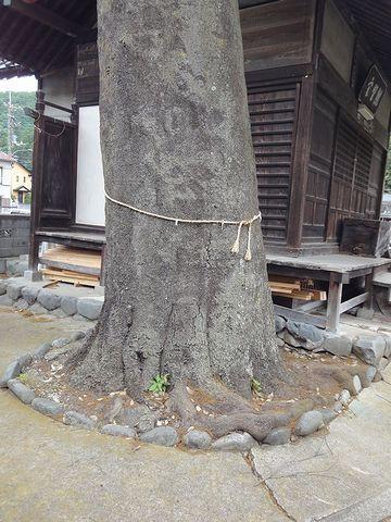 神社のシラカシ