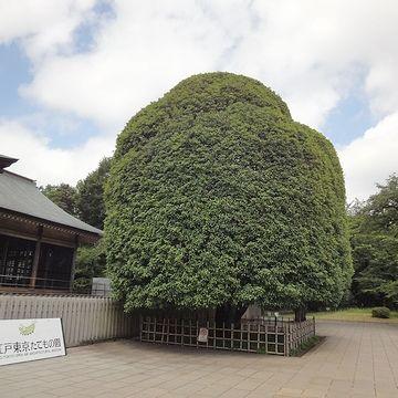 『江戸東京たてもの園』前に聳えるキンモクセイ