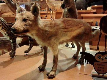 国立科学博物館にあるニホンオオカミの剥製