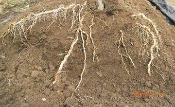 松林では、隣の松と根が交差してるはずだから……