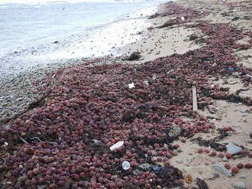 浜に打ち上げられたブリコ