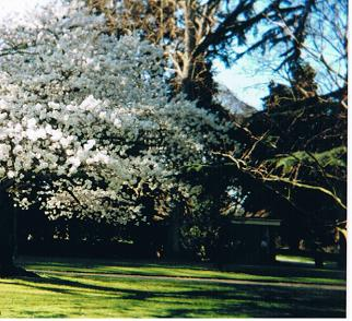 Hagley Park cherry blossoms