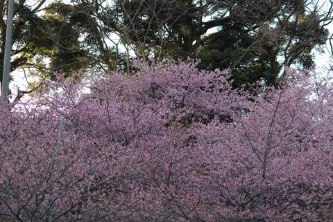 印西の河津桜2