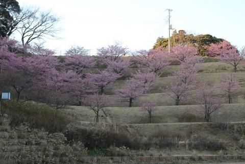 印西の河津桜1