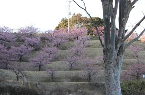 印西の河津桜4