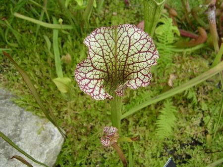 Sarracenia_leucophylla