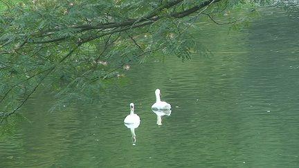 11川村庭の白鳥