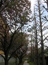 公孫樹と八重桜の並木