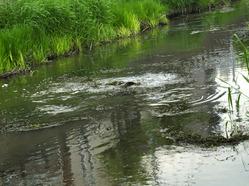 坂川の鯉の繁殖行動