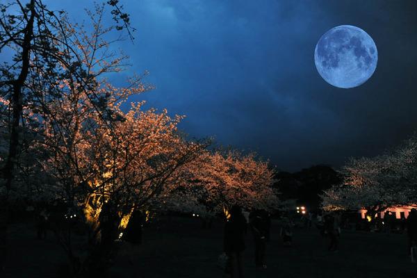 20130328_舞鶴公園の桜_01