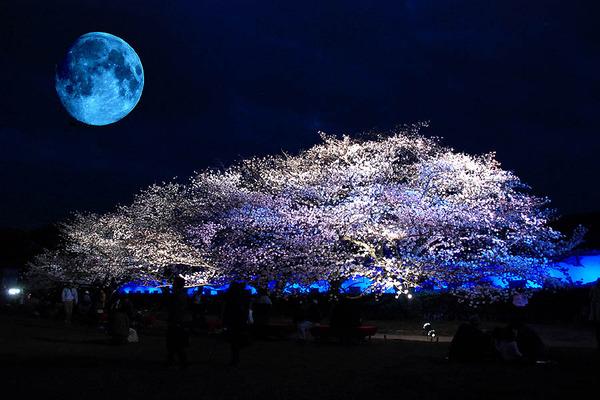 20130323_城内夜桜と月_01