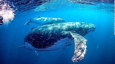whale-oz-swimming-with-humpback-whale