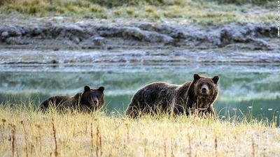 yellowstone-grizzly-pair-image