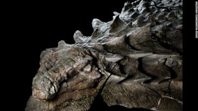 nodosaur-perfect-dinosaur-fossil-alberta-museum