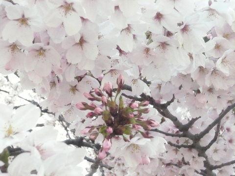 23年今年の桜