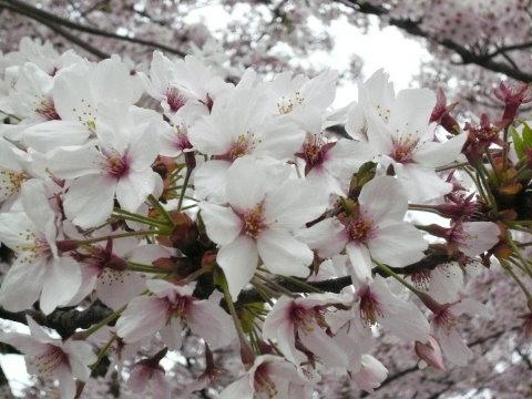 今治城の桜