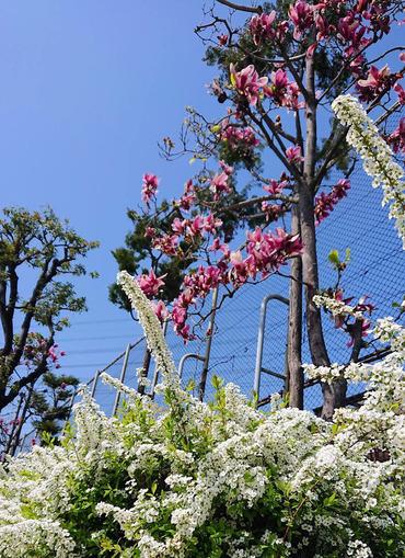 公園の紫木蓮