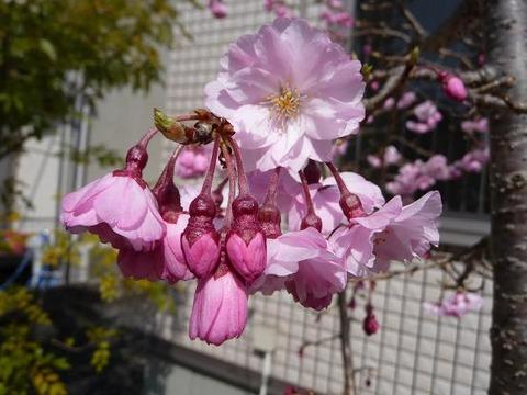 今年の桜6