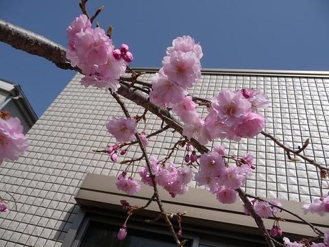 今年の桜5