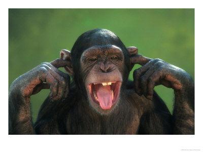 chimp-earsplugged