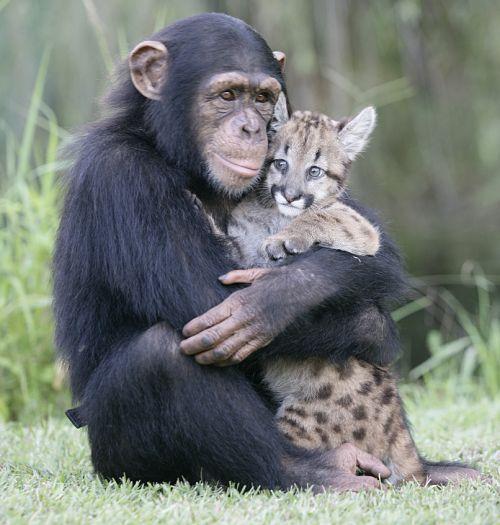 Chimpanzee-and-Leopard-animals-28906204-500-525