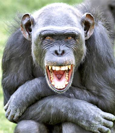 pg-18-chimp-alamy