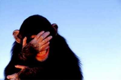 embarrassed-chimpanzee_tim-davis