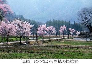 新植の桜並木