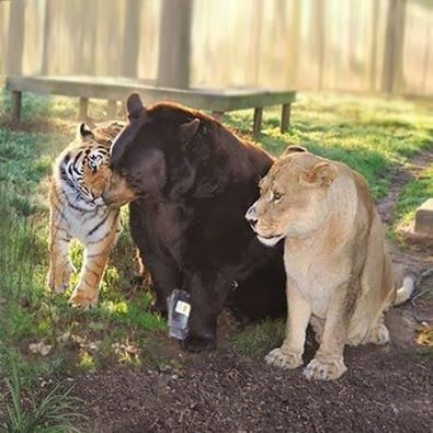 熊と虎とライオン