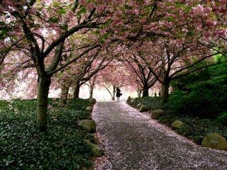 桜散る径小さい画像2014330