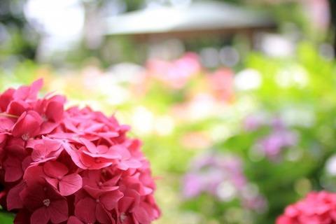 紫陽花苑ピンク
