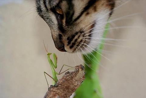 猫アップカマキリ20140924