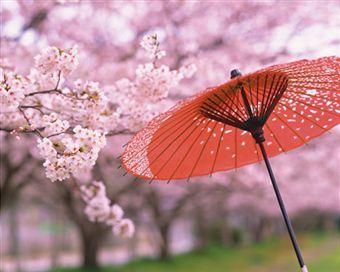桜蛇の目傘2014330