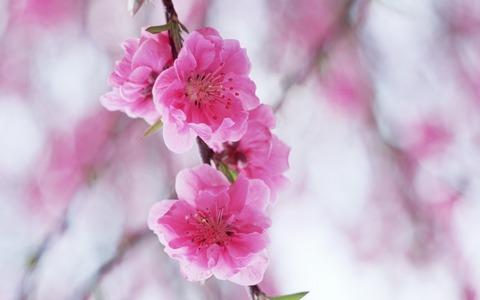 桜ぼかしデザイン20150314