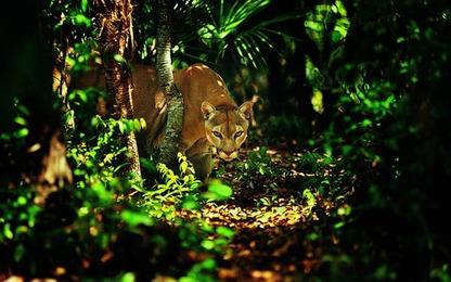 ジャングル茶の豹