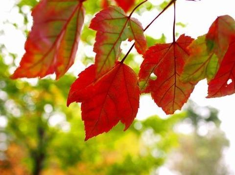 Kichan 紅葉した大きな葉 20141102