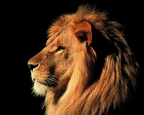 ライオン横顔20140731