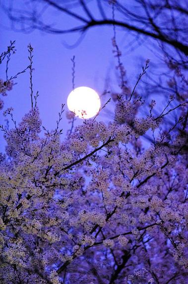 月と桜ブルー20150404