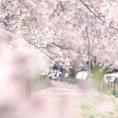 桜ぼかしピンク2014330