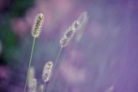 紫の背景がぼやけて猫じゃらし