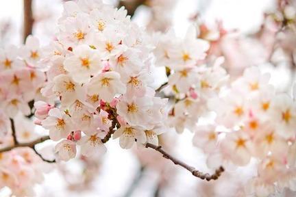 桜2014320