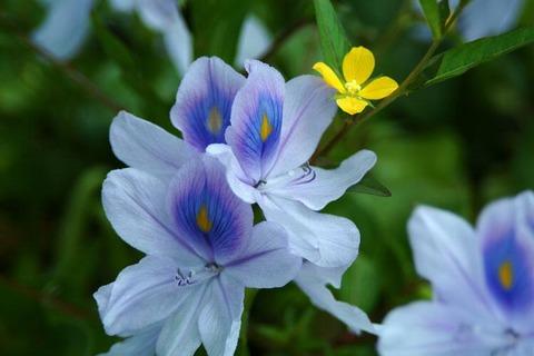 Kichan水色のあやめ風の花に黄色小花20140715