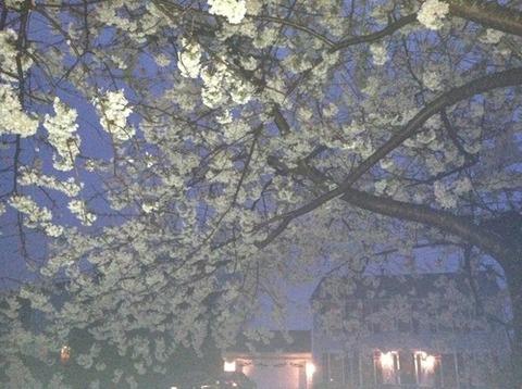 桜白夜2014330
