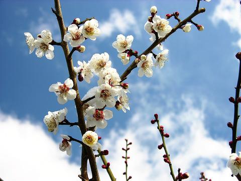 春の空と梅 20150311