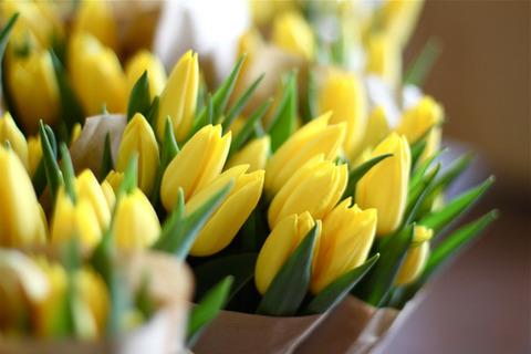 黄色いチューリップ20140521