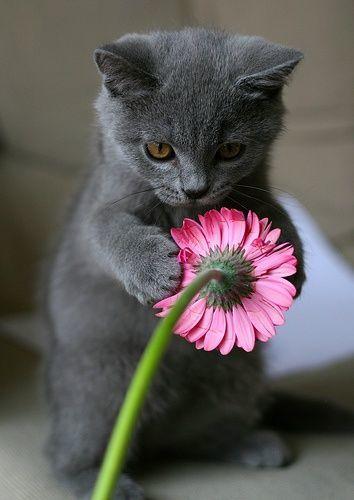 ロシアンブルーの猫とガーベラ2013925